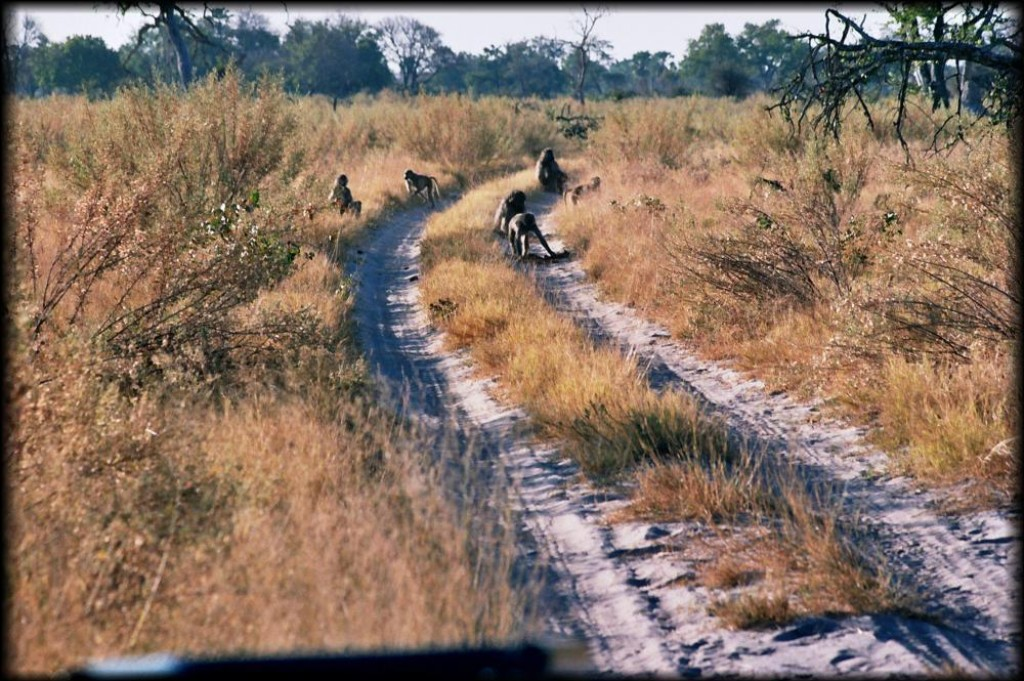 We stayed for a couple of days on a private reserve run by CCAfrica called Nxabega, located in the Okavango Delta.