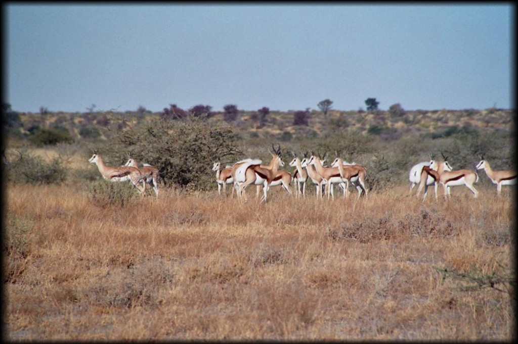 This is the group of springbok that the dogs were hunting.