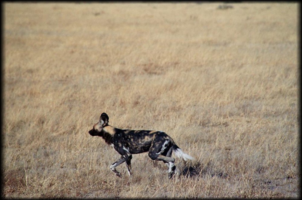 "We continued our drive that morning.  Suddenly our guide stopped, and said ""Hold on folks, wild dogs!"". We took off in the LandRover chasing them.  They are an endangered species, and Botswana has the largest population in the world - but that' s still only 400."