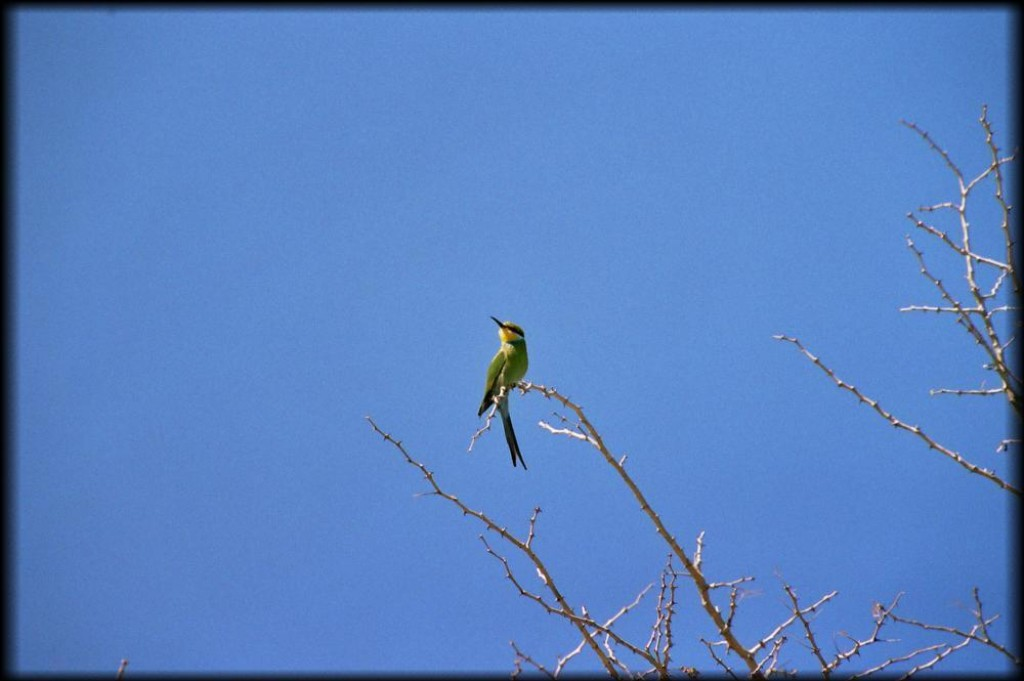 This is a swallow-tailed bee-eater.