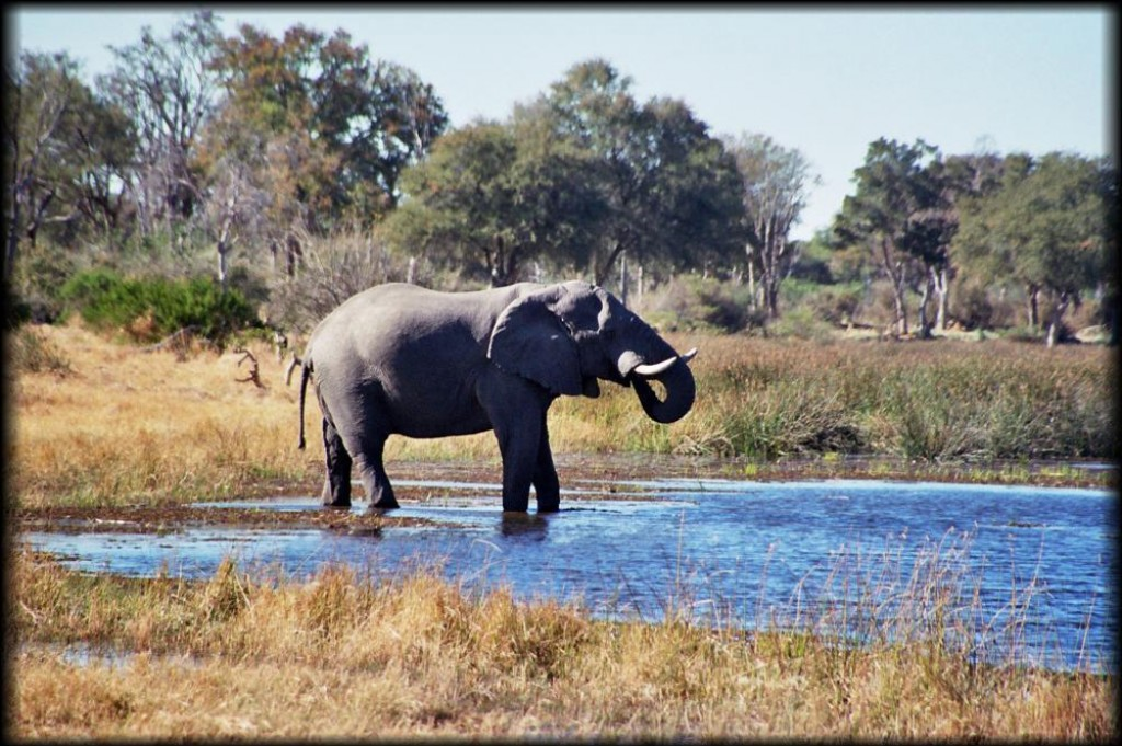 Our first stop in Chobe National Park was the Savute Reserve. Elephants and elephants and elephants...