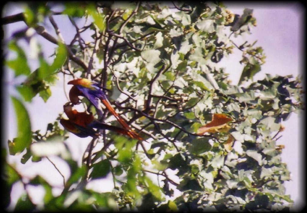 The macaws were everywhere - brilliant shots of color in the treetops.
