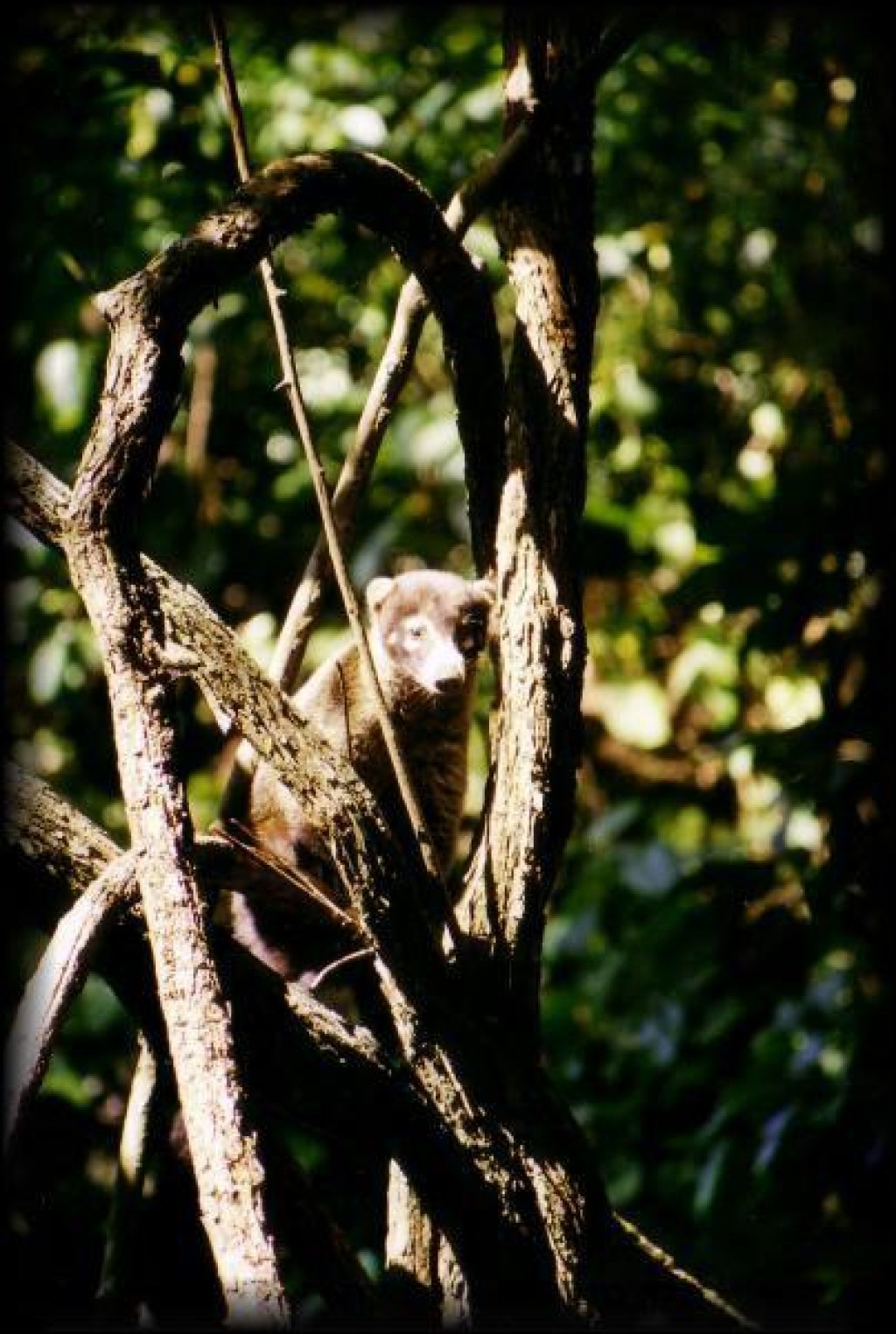 We saw a coati hiding in the trees.