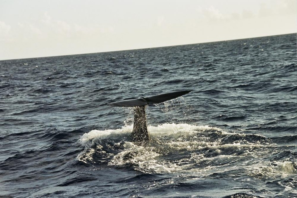 We went whalewatching with Dive Dominica and had a great day.