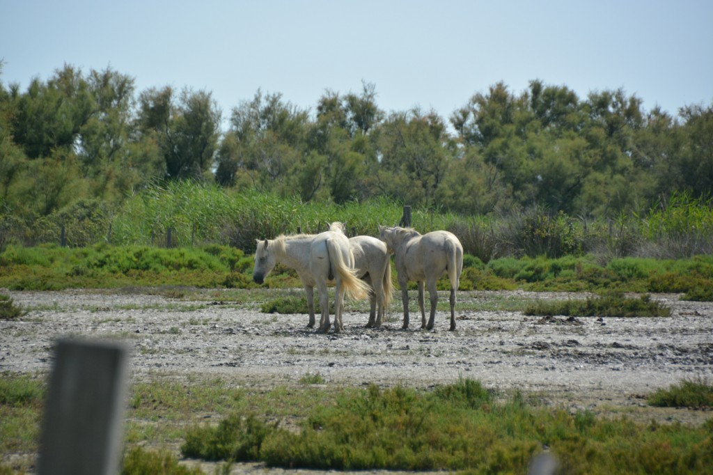 The  white Camarguais white horses are another famous animal of the region,