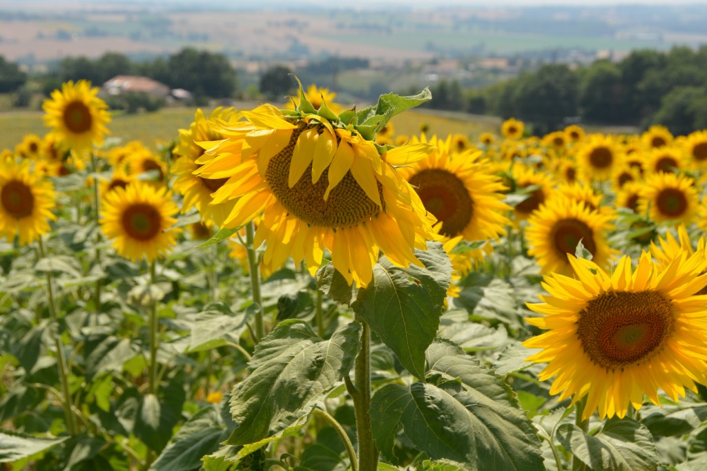 We spent a month living in a cottage in the countryside outside of Toulouse.  We had a view overlooking fields of sunflowers and a private pool.  Paradise!