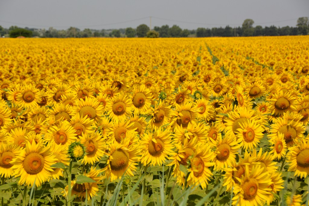 Stunning fields of sunflowers outside St-Remy