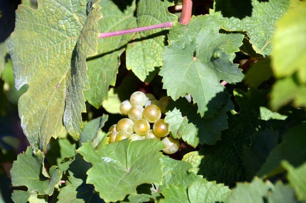 Growing the next Riesling grapes along the Mosel Valley