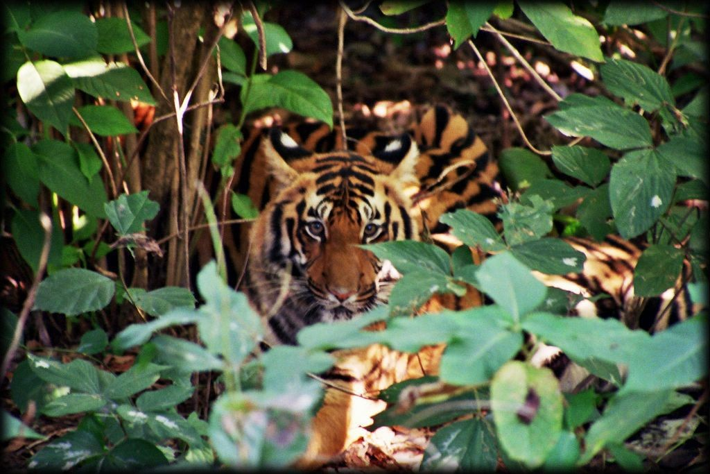 The second sighting was much closer, but the tigers were hidden by trees.