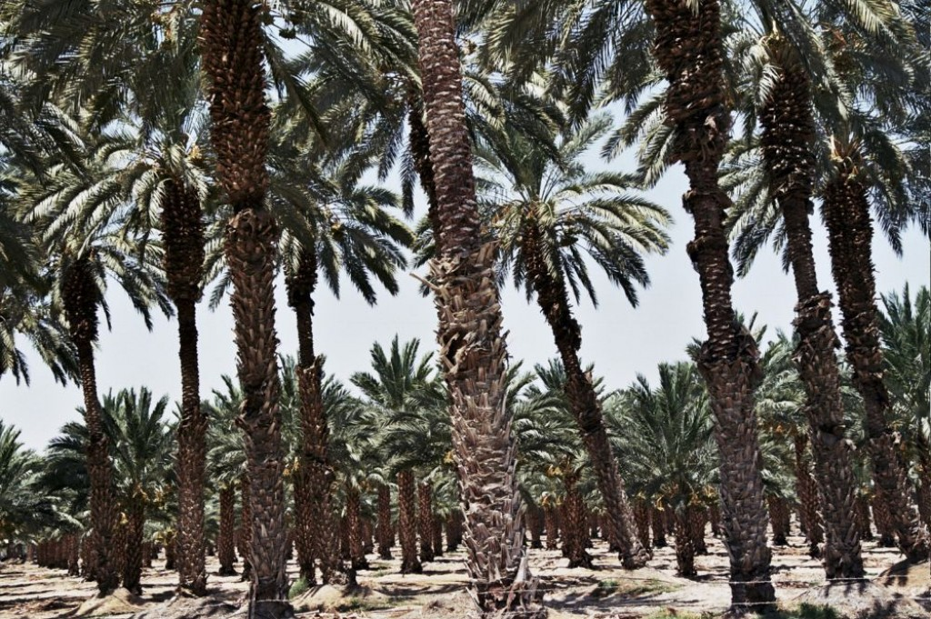 Palm tree plantations.