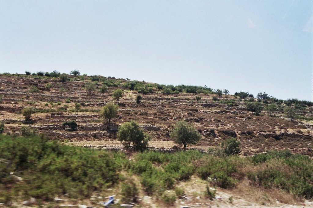 Terraced olive trees on the way to Hebron.
