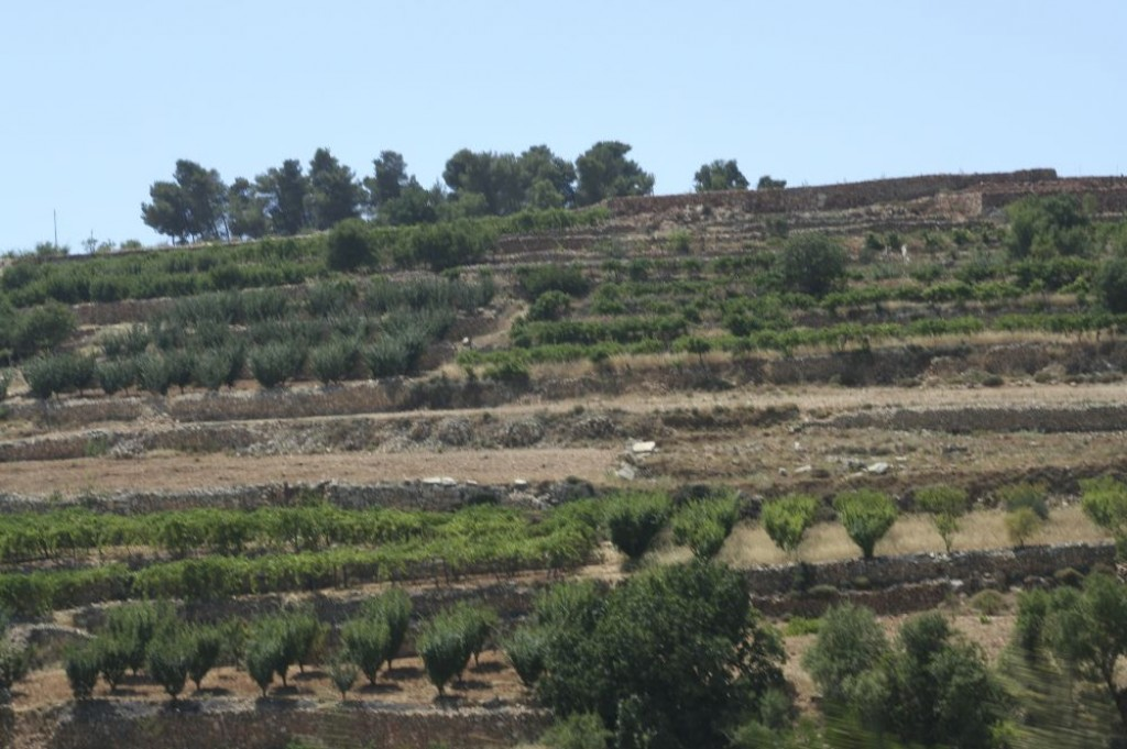 Olive trees and grapes grow in terraced farms along the way back to Bethlehem.