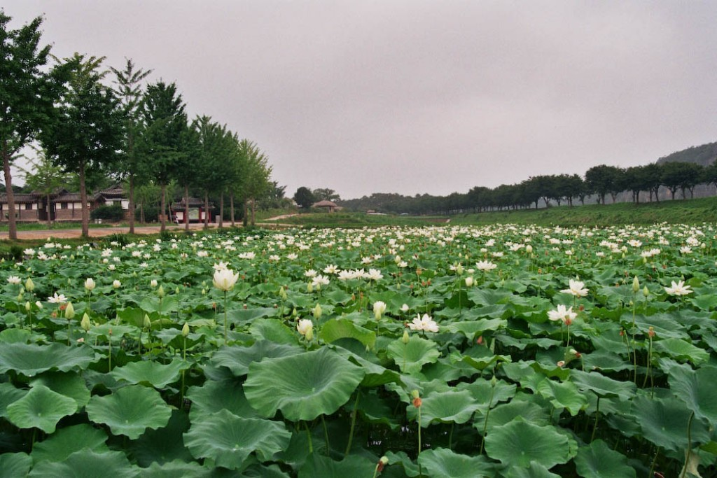 There is a lotus flower pond close to where the bus drops you off, at the entrance to the village.