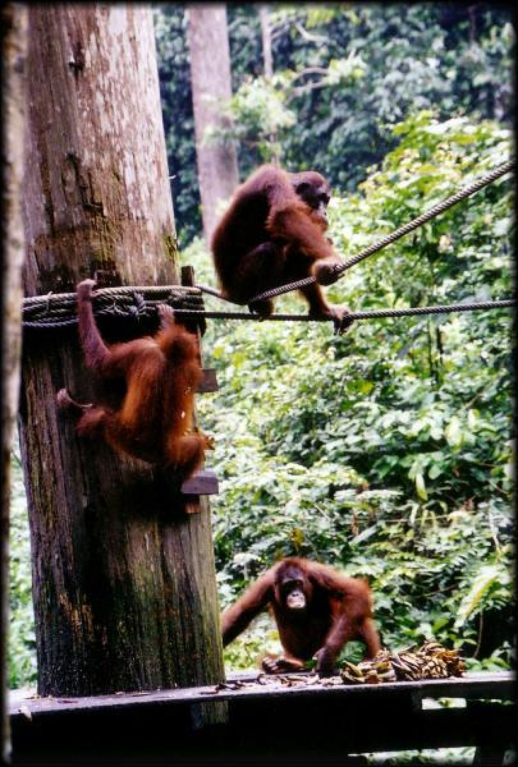 We flew to Sandakan on the island of Borneo to see the Sepilok Orangutan Reserve / Sepilok Rehabilitation Center. It was one of the highlights of our trip.