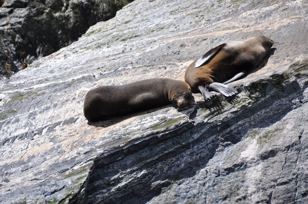 Seals on the Milford Sound cruise
