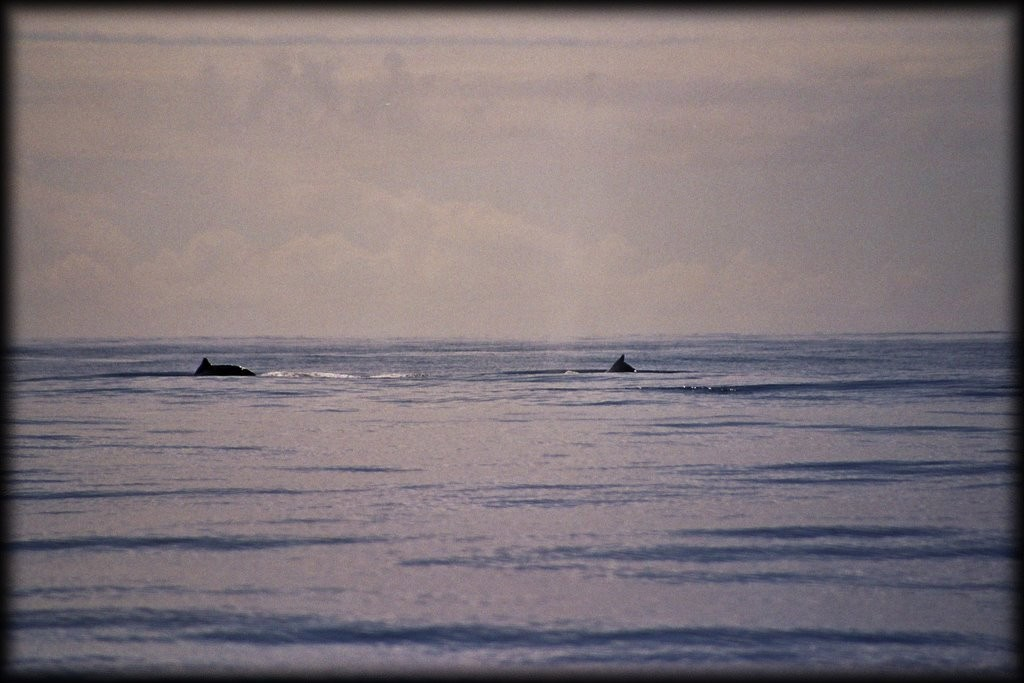 Humpbacks.  Apparently the only kind they see close to shore in Moorea.
