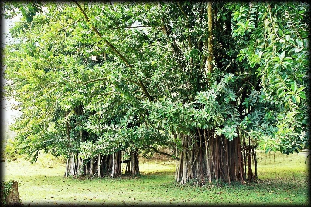 We passed a few huge banyan trees.