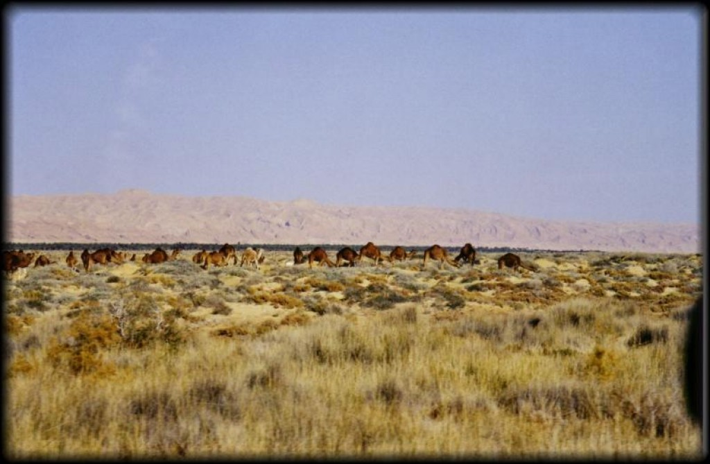 and several herds of camels.