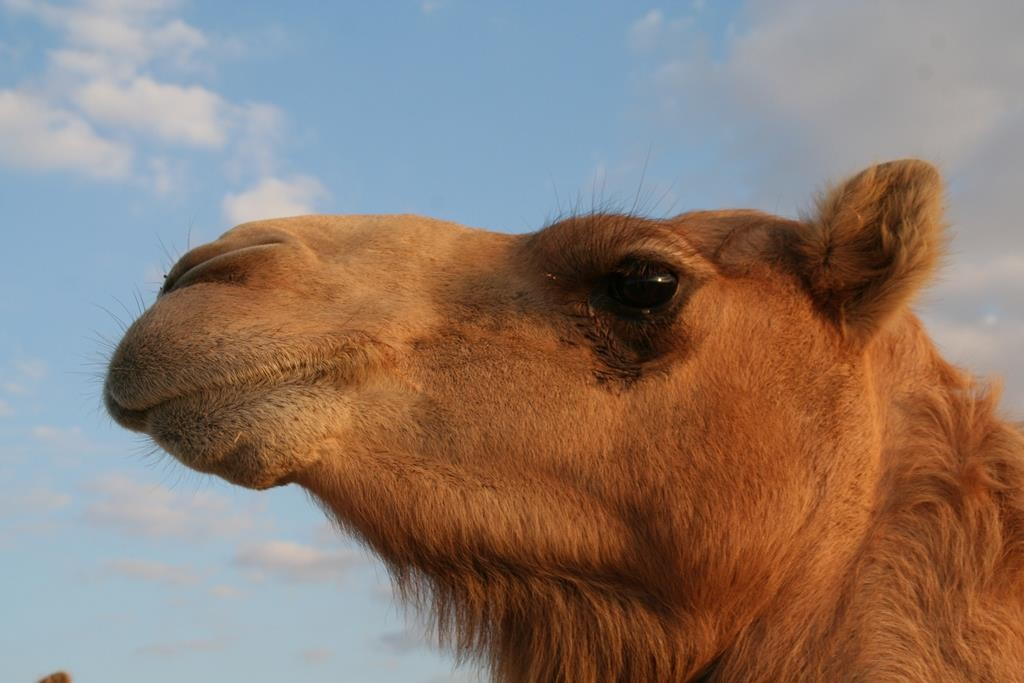 As part of our desert day trip from Abu Dhabi with Arabian Adventures (A day in the dunes), we visited a camel farm.