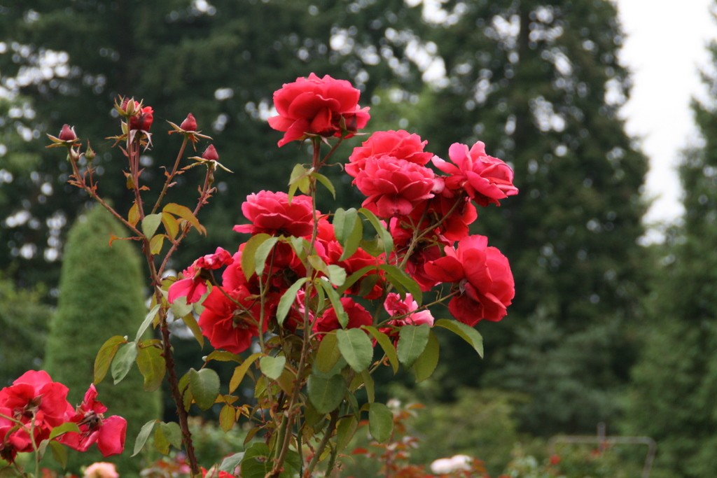 The Portland International Rose Test Garden and the Japanese Garden