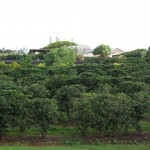 Coffee Plantation at Kauai Coffee Company