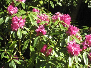 Thanks to the mild climate in San Francisco, azaleas bloom in January in Golden Gate Park.