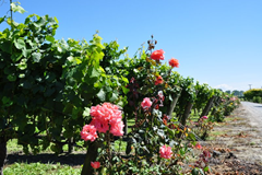 Rows of grapes are punctuated with beautiful roses at the lovely Brookfields Vineyards, Hawke's Bay, New Zealand