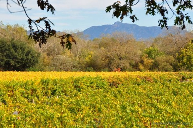 Fall colors in the vineyards frame a view of Mount St. Helena
