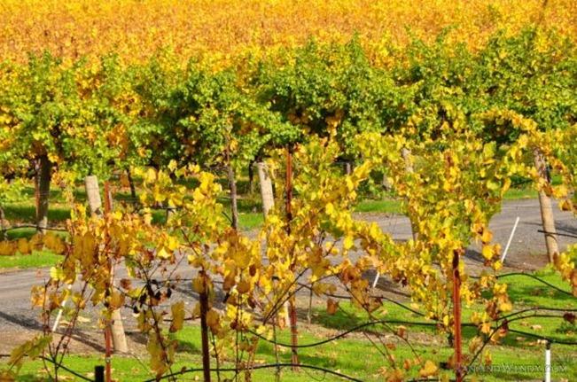 Wine grape vines display beautiful fall colors.
