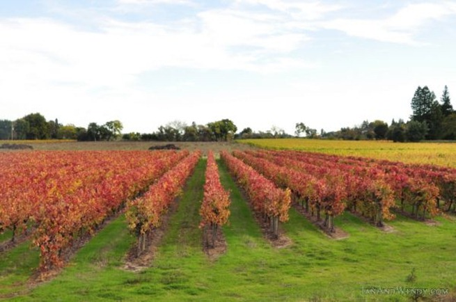 Wine grape vines turn brilliant shades of red and yellow carpeting Dry Creek Valley in fall color.