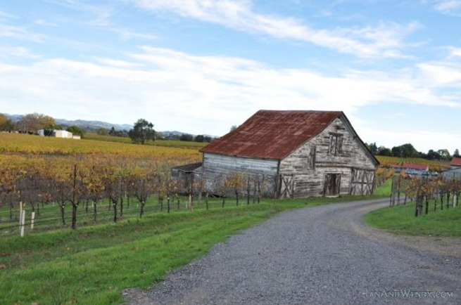 An old barn is surrounded by grape vines in brilliant colors in Dry Creek Valley