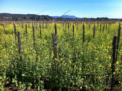 Spring brings wild mustard with its vibrant yellow to the vineyard surrounding Quivira's tasting room in Sonoma County's Dry Creek Valley.