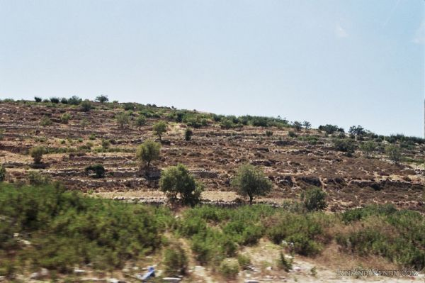 Terraces of Olive Trees, Hebron, West Bank