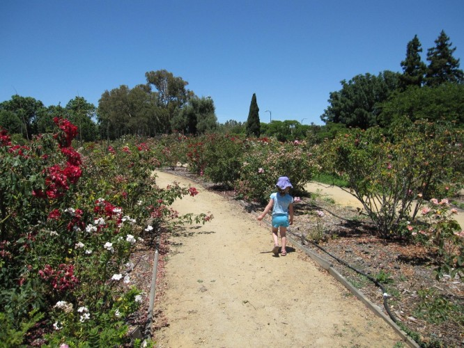 Checking out the roses at the San Jose Heritage Rose Garden