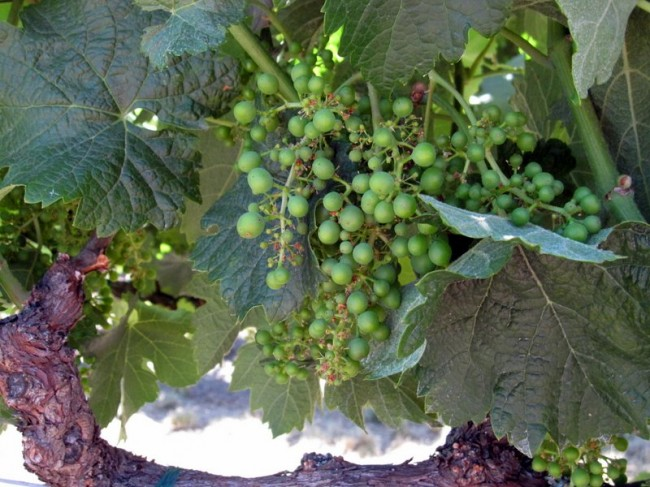 Wine grapes ripening on the vine in Sonoma County, Northern California's Wine Country