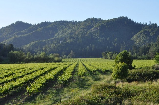 Rows of wine grapes are nestled in amongst the hills.